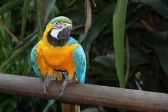 Blått-och-guling Macaw. Araararauna. Fotografering för Bildbyråer