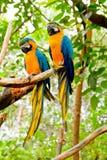Blått-och-Guling Macaw (Araararaunaen) Arkivbilder
