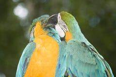 Blått-och-guling Macaws Arkivfoton