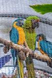 Blått-och-guling och gräsplanara, munkhättaararauna i Puerto de la CR Royaltyfri Fotografi
