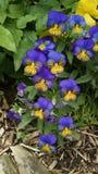Blått- och gulingväxter arkivbild