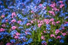 Blått och lilor glömma-mig-nots blommor Arkivbilder
