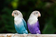 Blått och purpurfärgat dvärgpapegojaanseende på sittpinnen i trädgården Fotografering för Bildbyråer