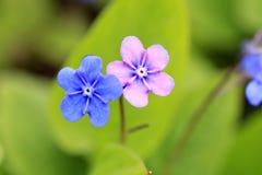 Blått och rosa blommor av den Omphalodes vernaen Royaltyfria Bilder