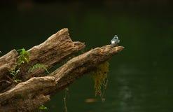Blått-och-vit svala, Notiochelidon cyanoleuca Fotografering för Bildbyråer