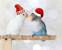 Blått och vitt dvärgpapegojaanseende på sittpinnen som bär den santa hatten på suddig bokeh- och snöflingabakgrund Arkivbilder