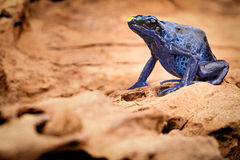 blått pilgrodagift Royaltyfri Fotografi