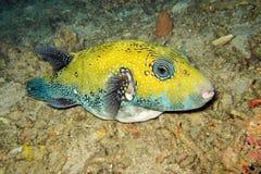 Blått-prickig pufferfishsimning Arkivfoton