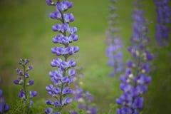 Blått sätter på en hätta vildblomman Royaltyfri Bild