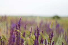 Blått Salia fält arkivbilder