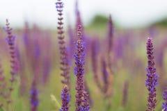 Blått Salia fält Royaltyfria Bilder