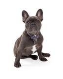 Blått sammanträde för fransk bulldogg Royaltyfri Fotografi