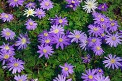 Blått skuggar Grecian windflower fotografering för bildbyråer