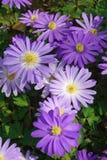 Blått skuggar Grecian windflower royaltyfri fotografi