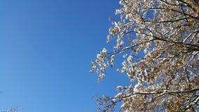 Blått som Snowtree Arkivfoto
