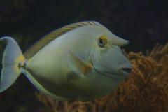 Blått-spined Unicornfish Fotografering för Bildbyråer
