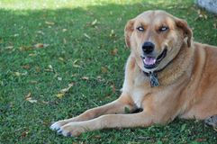 Blått synad hund Royaltyfria Bilder