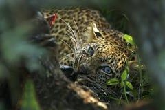 Blått synad leopard Arkivfoto