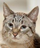 Blått synade den thai strimmig kattkatten royaltyfria foton