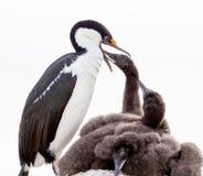 Blått synade matande fågelungar för shag Arkivfoton