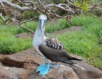 blått synat footed för booby kors Royaltyfri Foto