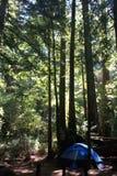 Blått tält i redwoodträden Arkivfoto