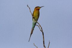 Blått-tailed Bi-ätare, färgrik fågel på filial arkivbilder