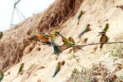 Blått-tailed Bi-ätare fåglar Fotografering för Bildbyråer