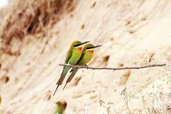 Blått-tailed Bi-ätare fåglar Royaltyfri Fotografi
