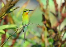 Blått-tailed Bi-eater royaltyfri foto
