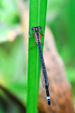 Blått-tailed Damselflykvinnlig Royaltyfri Foto