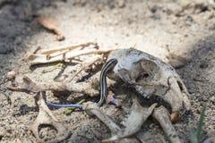 Blått-tailed Skink krypning på en tjallaskalle Fotografering för Bildbyråer