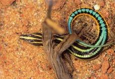 Blått-tailed skinknederlag Fotografering för Bildbyråer