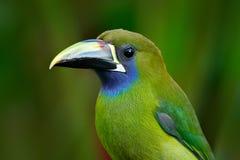 Blått-throated Toucanet, Aulacorhynchus prasinus, grön tukanfågel i naturlivsmiljön, exotiskt djur i den tropiska skogen, Costa arkivbilder