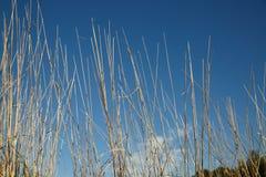 blått torka gräs över skyen Arkivbild