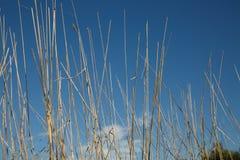 blått torka gräs över skyen Royaltyfri Bild