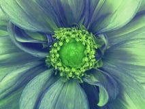 Blått-turkos blommadahlia Makro gröna pistillar, stamens grön mitt För design arkivbild