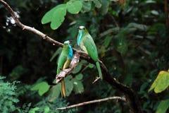 Blått-uppsökt Bi-ätare fågel Royaltyfri Fotografi