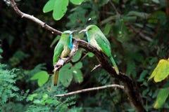 Blått-uppsökt Bi-ätare fågel Royaltyfri Foto