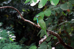 Blått-uppsökt Bi-ätare fågel Arkivfoton