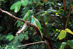 Blått-uppsökt Bi-ätare fågel Fotografering för Bildbyråer
