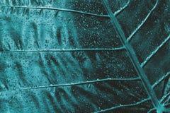 Blått vått tropiskt blad royaltyfria foton