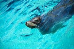 blått vatten för lionhavsskyddsremsa Royaltyfri Fotografi