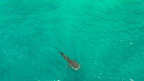 Blått vatten för valhaj utom fara Filippinerna Cebu arkivfilmer