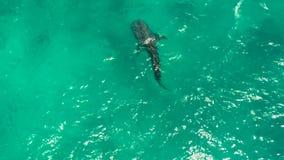 Blått vatten för valhaj utom fara Filippinerna Cebu lager videofilmer