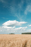 blått vete för sky för bild för fältguldhdr Mogen kornskördtid Arkivbild