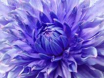 Blått-violett blomma för dahlia Makro Brokig stor blomma Bakgrund från en blomma Royaltyfria Bilder
