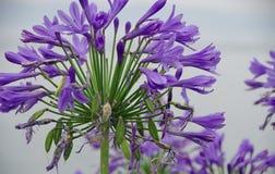 Blått-violett blommande smyckenlilja royaltyfria foton