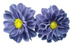 Blått-violetta blommadahlior på vit isolerade bakgrund med den snabba banan Inget skuggar closeup arkivbilder