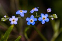 Blåttblommor Fotografering för Bildbyråer